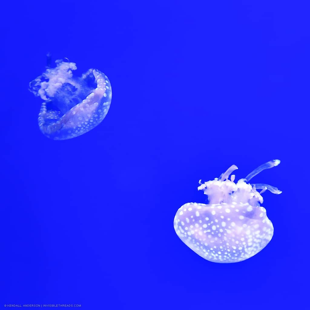 Two mostly transparent jellyfish with white spots are in an aquarium tank. The background wall is a bright solid blue colour.